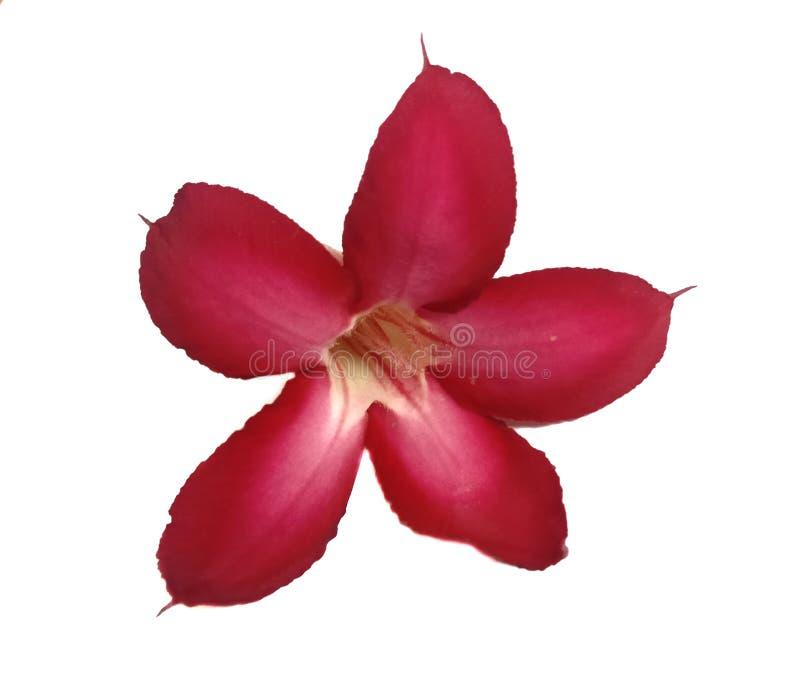 Rode geïsoleerde azaleabloemen royalty-vrije stock fotografie
