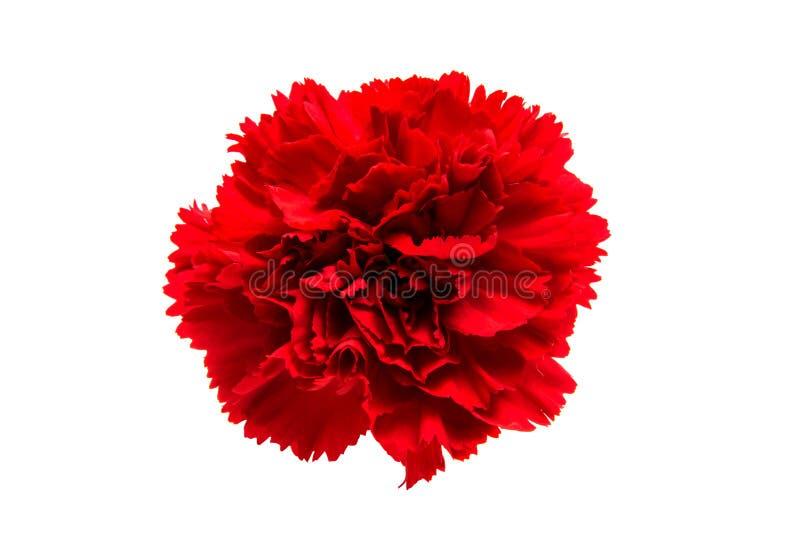 Rode geïsoleerdee anjer royalty-vrije stock afbeelding