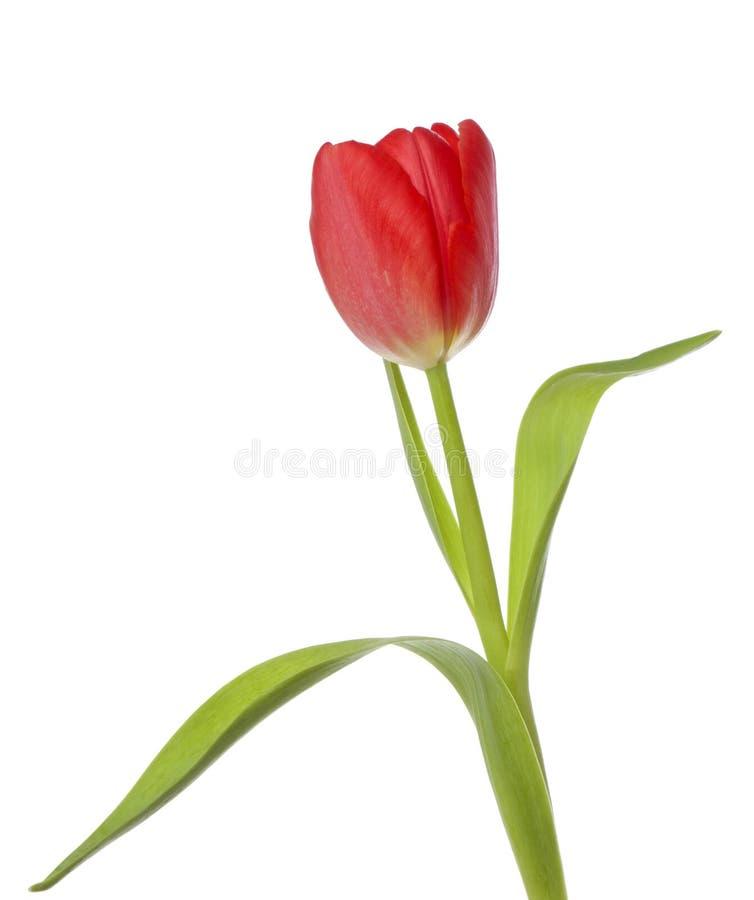 Rode Geïsoleerdee Tulp stock fotografie