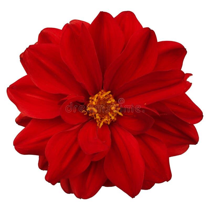 Rode geïsoleerdeg bloem royalty-vrije stock foto