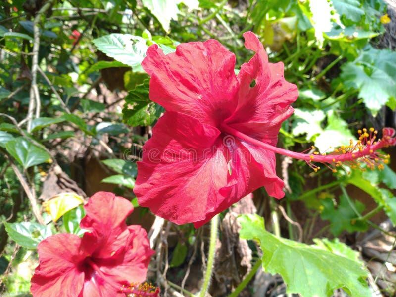 Rode gekleurde hibiscusbloemen stock foto