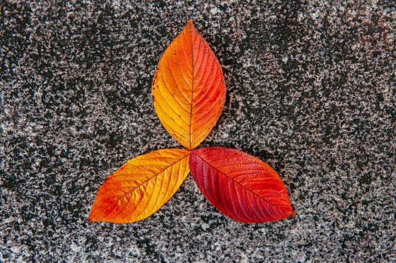 Rode gele de kersenbladeren van de herfstsakura op grijze steenachtergrond - kleurrijk seizoen stock foto
