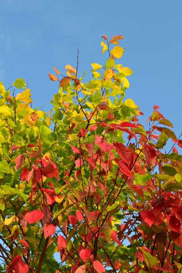 Rode, gele, groene bladeren op een boom tegen een blauwe hemel Autumn Landscape Warme tonen royalty-vrije stock afbeeldingen