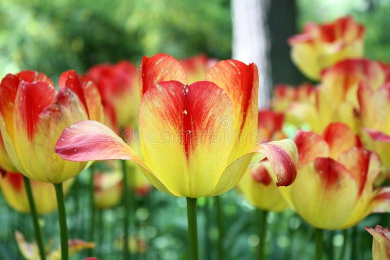 Rode gele tulpen royalty-vrije stock afbeeldingen