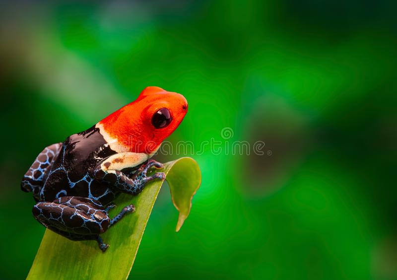 Rode geleide fantastica van de kikkerranitomeya van het vergiftpijltje royalty-vrije stock foto's