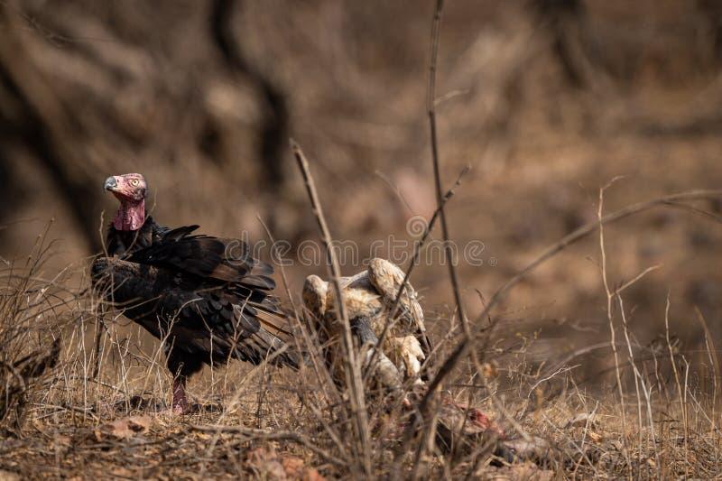 Rode geleide gier of sarcogyps calvus of pondicherry gier dicht omhoog met uitdrukking in Ranthambore stock fotografie