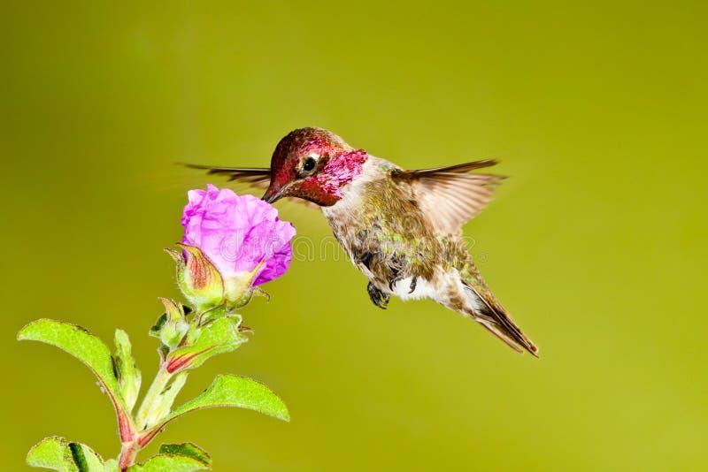 Rode Geleide Kolibrie royalty-vrije stock foto's