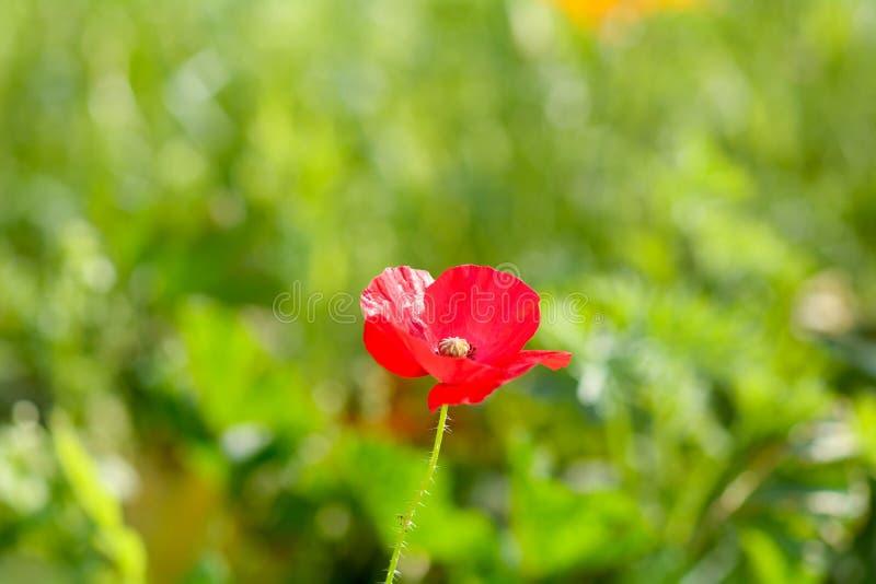 Rode gemeenschappelijke wilde Papaverbloem & x28; papaver& x29; stock afbeeldingen