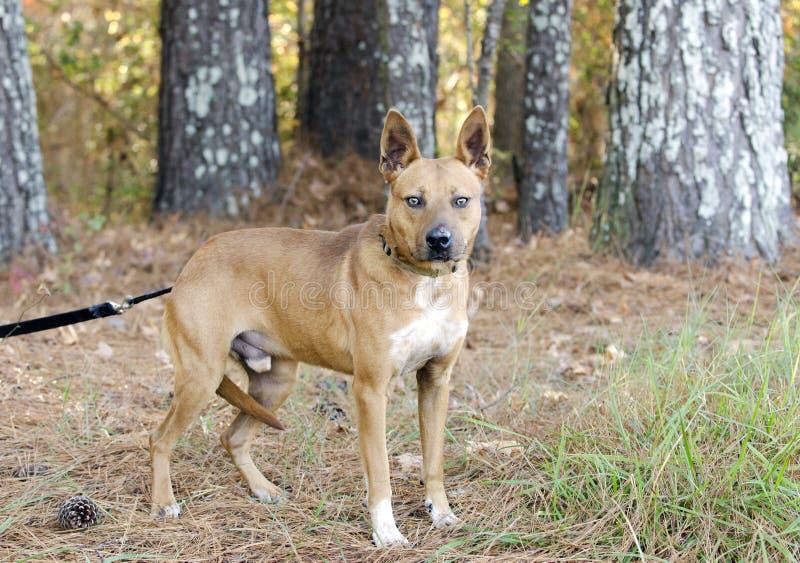 Rode gemengde het rassenhond van Heeler cattledog royalty-vrije stock afbeelding
