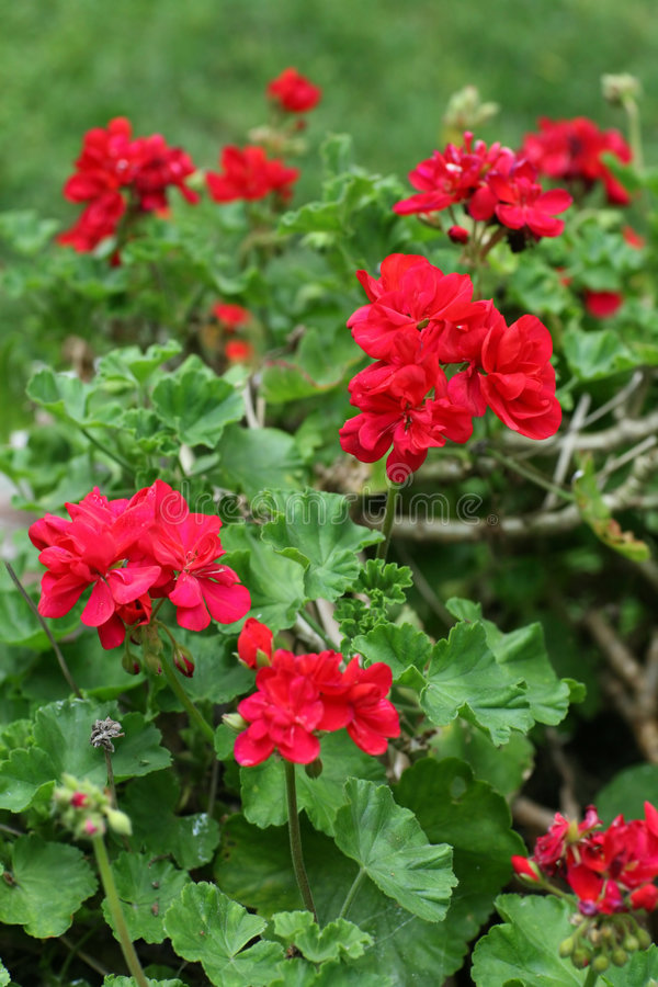 Rode Geranium stock afbeelding