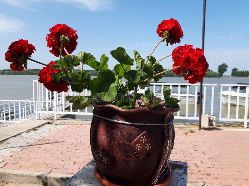 Rode geraniumbloemen in pot stock afbeelding