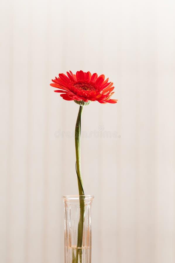 Download Rode Gerber Daisy stock foto. Afbeelding bestaande uit stammen - 54075292