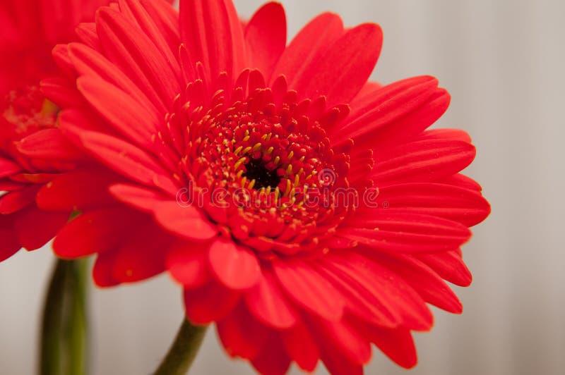 Download Rode Gerber Daisy stock foto. Afbeelding bestaande uit madeliefjes - 54075618