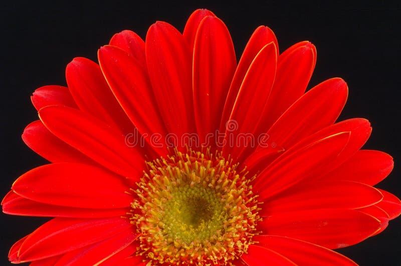 Rode Gerbera stock fotografie