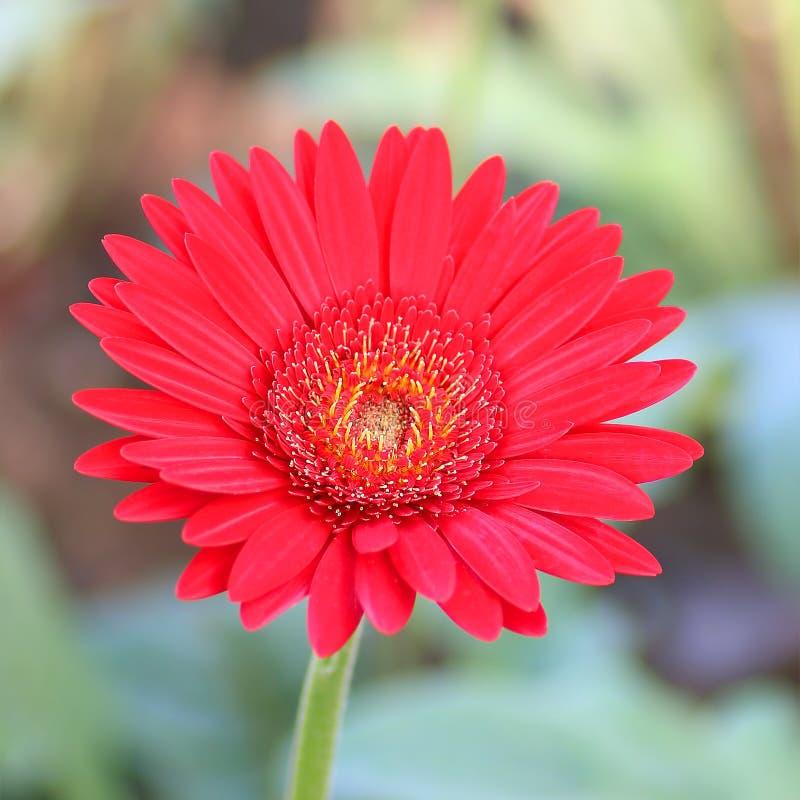 Rode Gerbera-bloembloesem in de tuin stock afbeelding