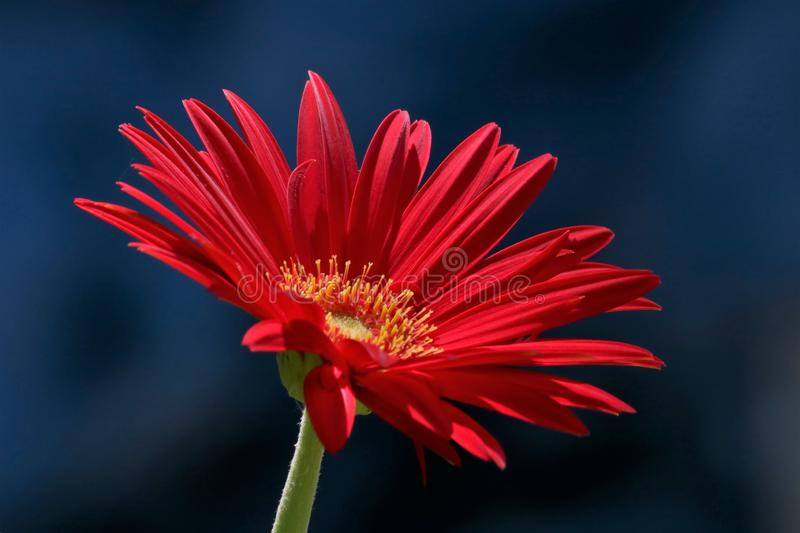 Rode Gerbera Daisy Isolated op Donkerblauwe Achtergrond royalty-vrije stock foto