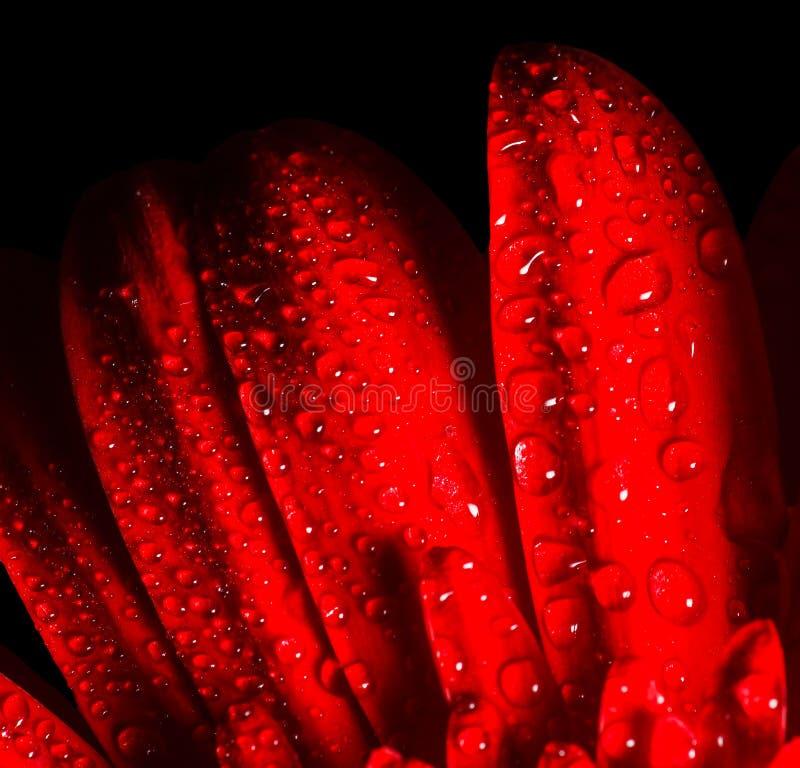 Rode Gerbera op zwarte achtergrond stock foto's
