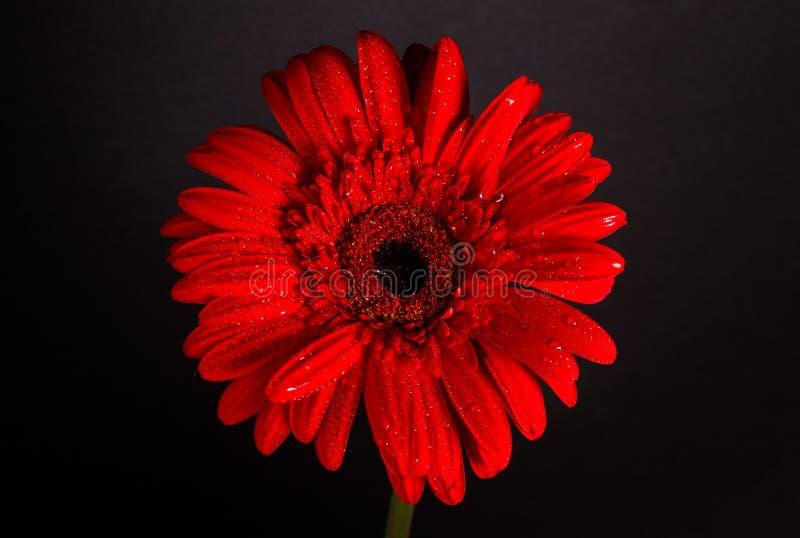 Rode Gerbera op zwarte achtergrond royalty-vrije stock afbeeldingen