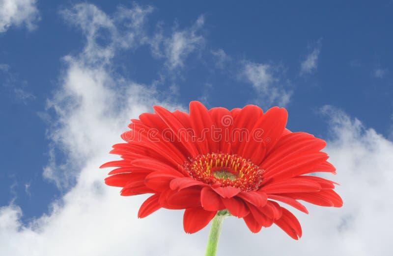 Rode gerbera tegen mooie hemel royalty-vrije stock foto