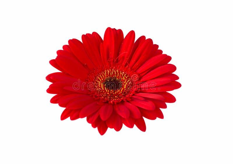 Rode gerberabloem die op witte achtergrond wordt geïsoleerd royalty-vrije stock fotografie