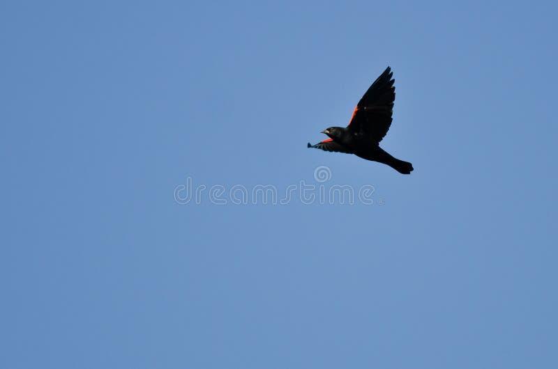 Rode Gevleugelde Merel die in een Blauwe Hemel vliegen royalty-vrije stock fotografie