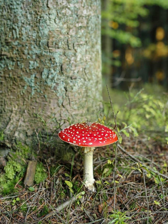 Rode giftige paddestoel in het bos royalty-vrije stock afbeeldingen