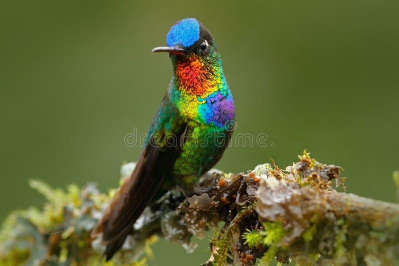 Rode glanzende glanzende vogel Vurig-Throated Kolibrie, Panterpe-insignis, de zitting van de kleurenvogel op larikstak Rode glanz royalty-vrije stock foto