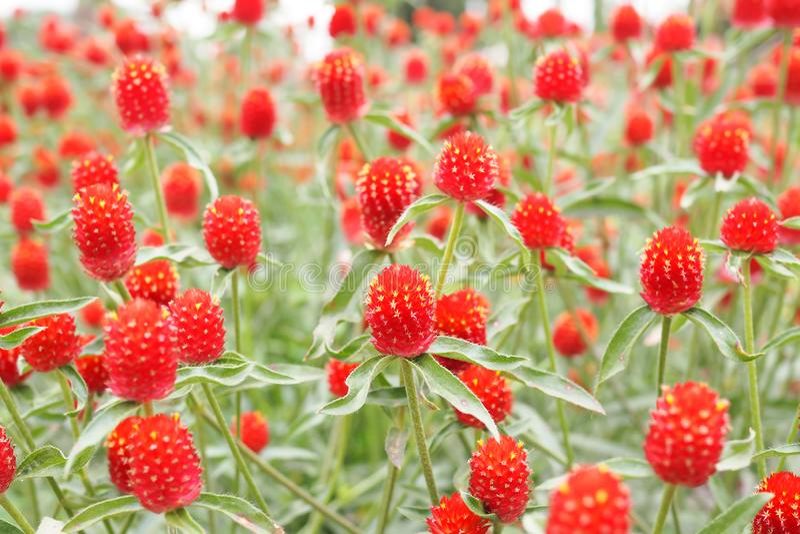 Rode globe amaranth of bachelor-knopbloem in tuin voor achtergrond royalty-vrije stock foto's