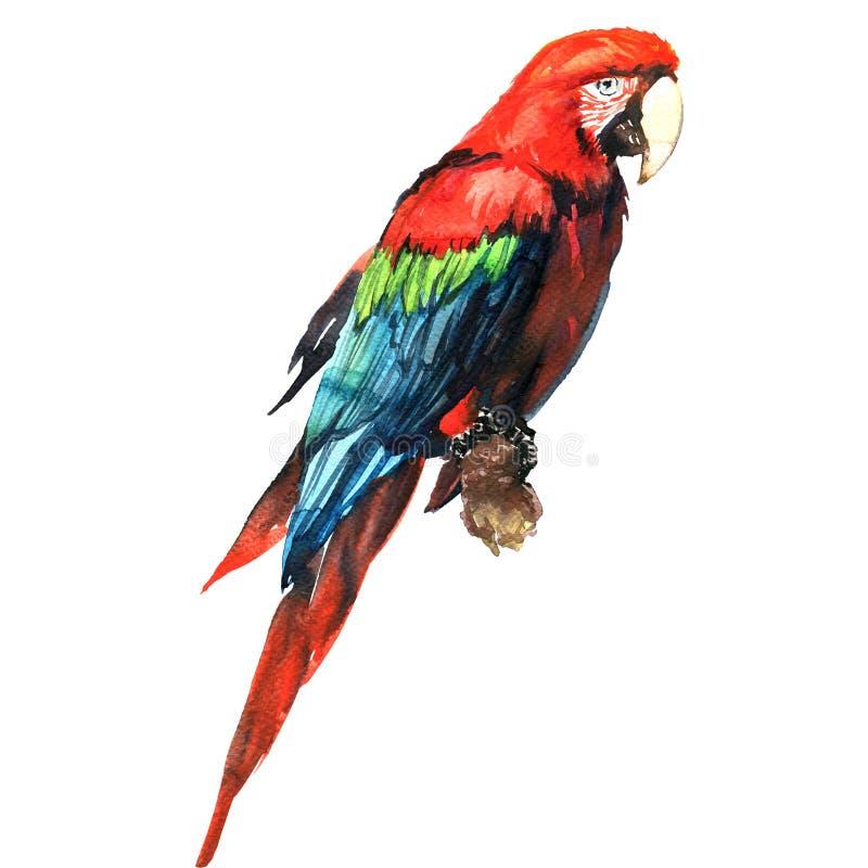 Rode groene ara, aronskelkenpapegaai, op geïsoleerde tak, waterverfillustratie vector illustratie