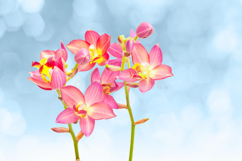 Rode grondorchidee stock afbeelding