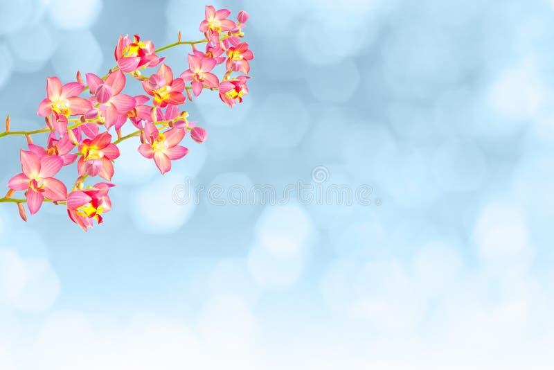 Rode grondorchidee stock afbeeldingen