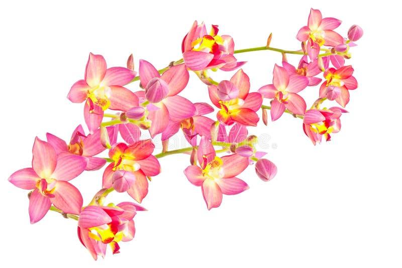 Rode grondorchidee royalty-vrije stock foto