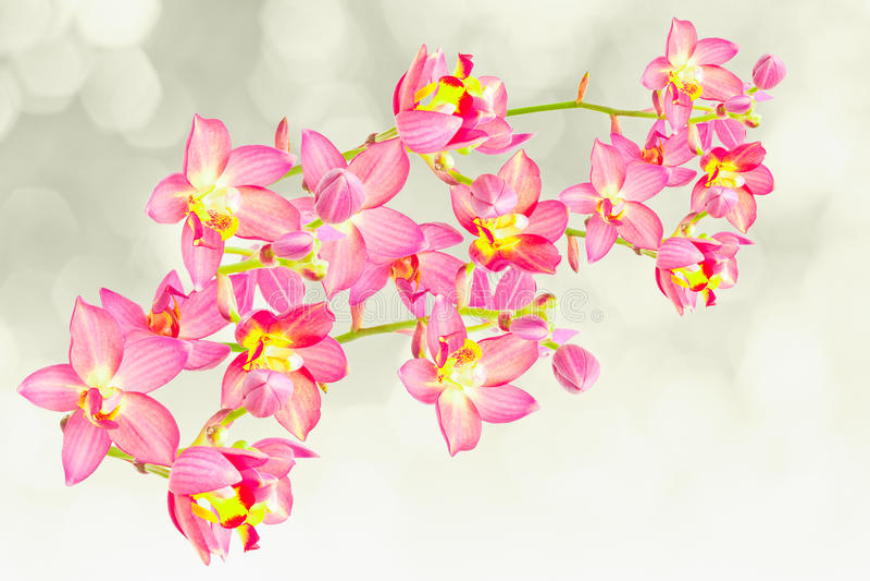 Rode grondorchidee stock foto's