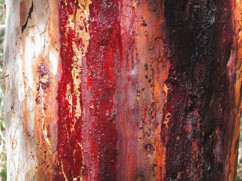 Rode hars op gomboomschors royalty-vrije stock foto's
