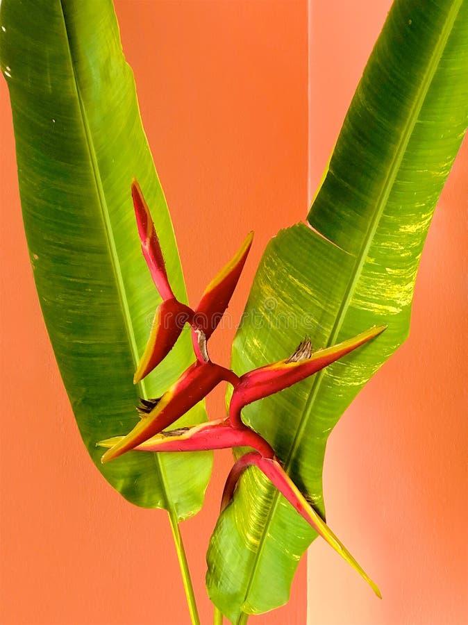 Rode heliconiabloem en groene bladeren op een oranje achtergrond stock afbeeldingen