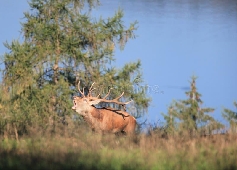 Rode herten stock foto