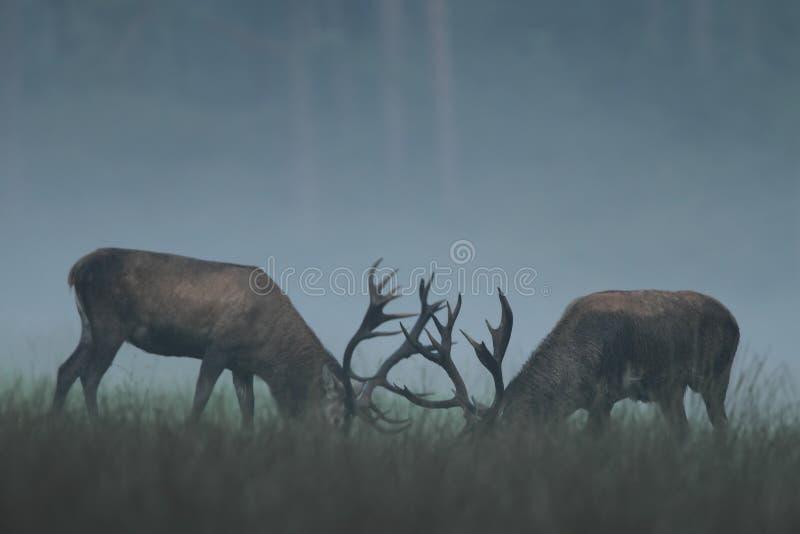 Rode Herten stock fotografie