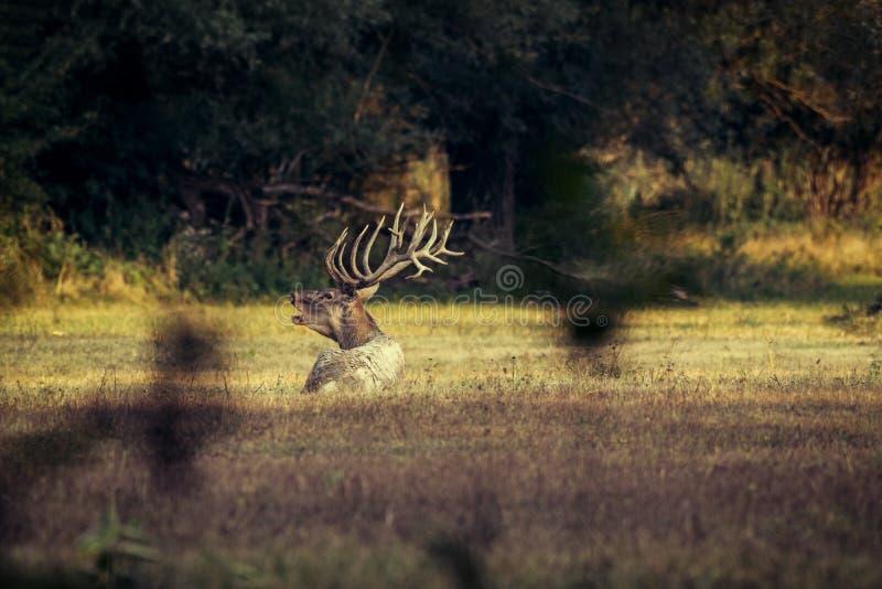 Rode herten - Bronst stock afbeelding
