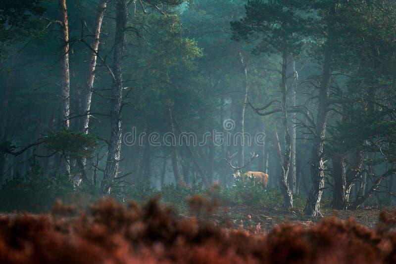 Rode herten, bronst, Hoge Veluwe, Nederland Hertenmannetje, blaasbalg majestueus krachtig volwassen dier in mist, mistige boshabi stock afbeelding