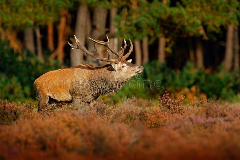 Rode herten, bronst in NP Hoge Veluwe, Nederland Hertenmannetje, blaasbalg majestueuze krachtige volwassen dierlijke buiten houte stock afbeelding