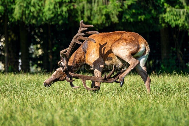 Rode herten, Cervus-elaphus in een Duits aardpark royalty-vrije stock fotografie