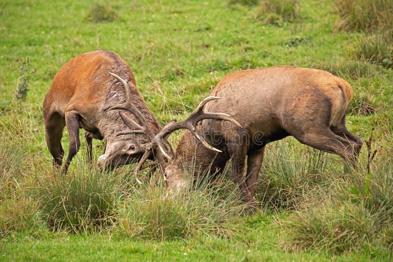 Rode herten, cervuselaphus, strijd tijdens de sleur stock fotografie