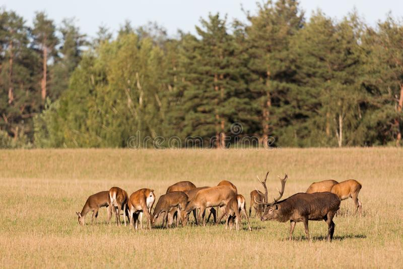 Rode hertengroep met hertenmannetje met grote mooie hoornen in de herfst De herfstlandschap met kudde van herten Cervus Elaphus N stock afbeeldingen