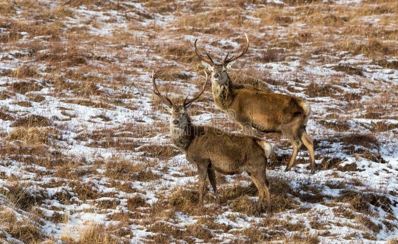 Rode Hertenmannetjes op sneeuwhelling op Eiland van Mull, Schotland royalty-vrije stock foto's