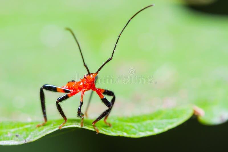 Download Rode Het Insectennimf Van De Moordenaar Stock Foto - Afbeelding bestaande uit groen, up: 29513546