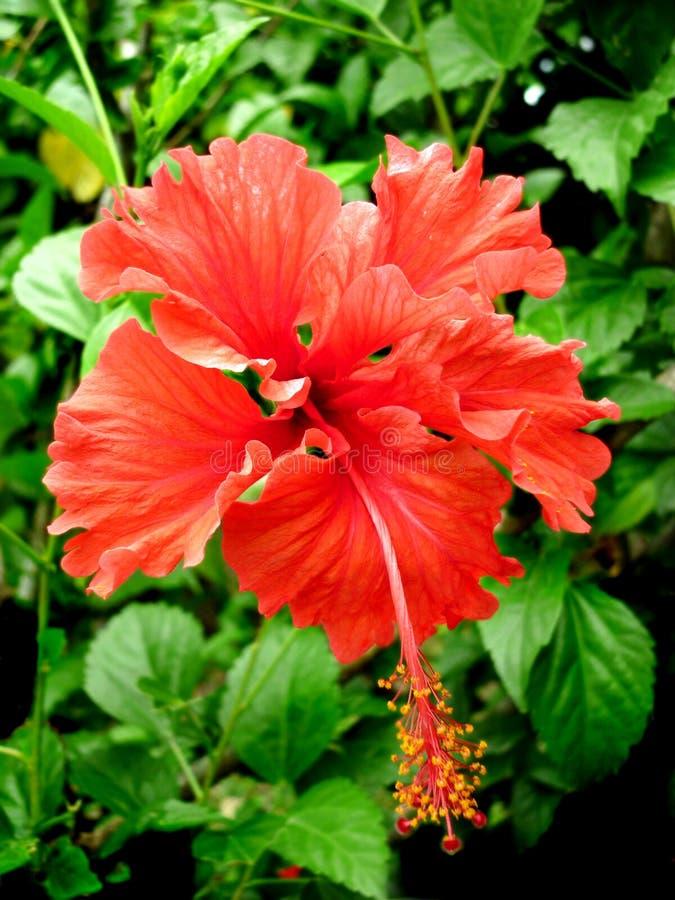 Rode Hibiscus stock afbeeldingen