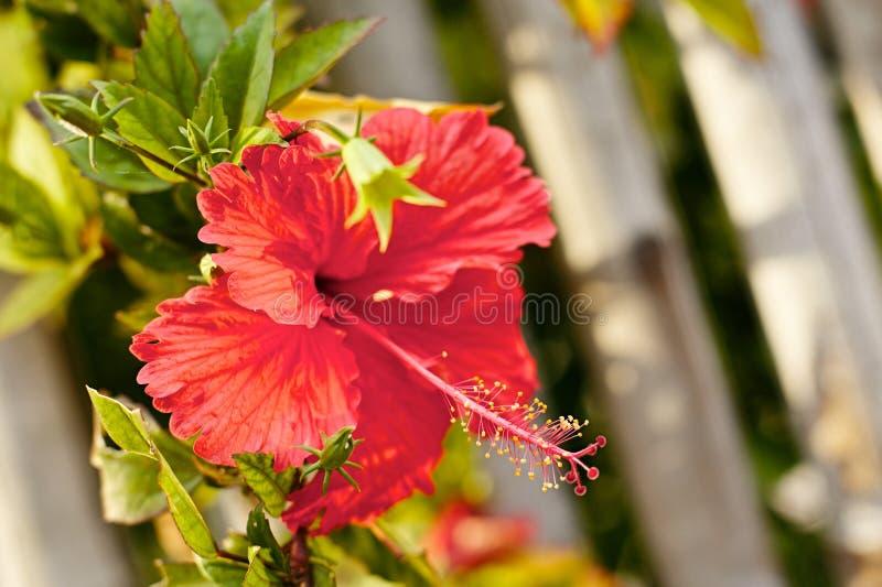Rode Hibiscus stock foto