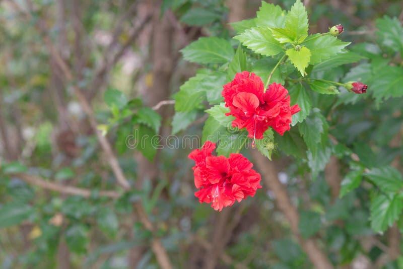 Rode Hibiscus stock foto's