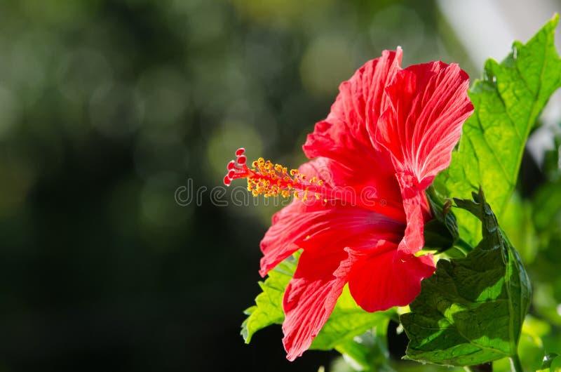 Rode hibiscus met licht van zon stock fotografie
