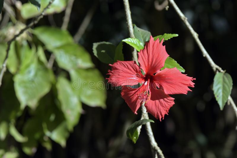 Rode hibiscus op donkere tuinachtergrond royalty-vrije stock foto's